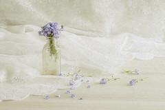 Don't forget (judi may) Tags: flowers stilllife vintage bottle pretty lace vase hss forgetmenots vintagebottle tabletopphotography canon7d slidersunday sliderssunday