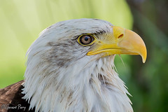 Bald Eagle (parry101) Tags: birds for eagle centre bald international prey eagles icbp