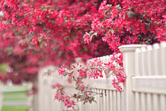 Keep a smile on your face, it's the best accessory you can wear. (Sandra H-K) Tags: pink flowers red fence wow spring flora soft dof pastel branches blossoms depthoffield softfocus dreamy serene springtime hff fencefriday
