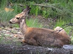 Doh, a dear!    :) (Paridae) Tags: deer restingdeer mammalsofbritishcolumbia mammalsofcanada mammalsoftheokanagan femaledeer afewofmyfavouritethings canoneos7d