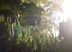 Summer (Hilary Causer) Tags: summer sunlight garden outside lowlight eveningsun may lavender depthoffield eveninglight lowsun