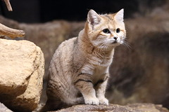 Sand Cat (charliejb) Tags: cat fur mammal zoo furry feline wildlife carnivore bristolzoo sandcat 2016