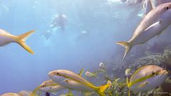 Depredadores a la vista (Angela MGM) Tags: ocean naturaleza nature azul mar agua peces republicadominicana oceano arrecife 2016 cayoarena juegolvm