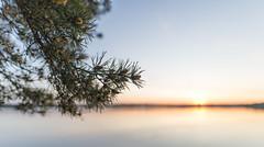 Pines Taking it Easy in the Evening (Teppo Kotirinta) Tags: trees sunset sea sun blur nature water canon helsinki dof bokeh luonto sigma20mm14 suomenluonto