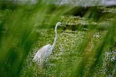 Stalking (brev99) Tags: bird grass pond bokeh egret obstacle d7100 topazdenoise topazdetail cacorrection tamron70300vc dxooptics8 photoshopelements12