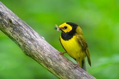 Hooded Warbler (RawComposition) Tags: bird nature spring nikon wildlife birding warbler nikon200500