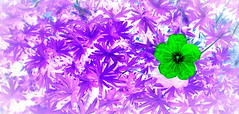 (timetomakethepasta) Tags: psychedelic flower new york outdoors nature colors vivid striking luxurious insane