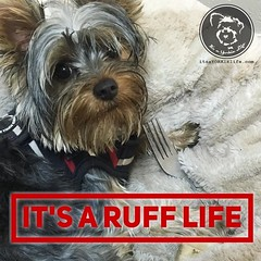 Yep, really ruff... (itsayorkielife) Tags: instagram itsayorkielife yorkie yorkshireterrier