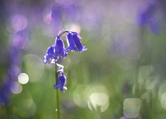 Bluebells (FofR) Tags: bluebells spring flowers nature bokeh light dreamy purple blue flower sussex uk woodland bluebell