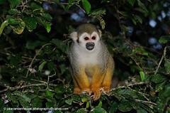 Squirrel monkey Saimiri sciureus (jokevandenheuvel.photography) Tags: mammal monkey squirrel cebidae saimiri sciureus suriname biodiversity wildlife monkimonki primat tropical rainforest