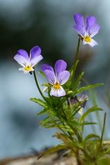Styvmorsviol (evisdotter) Tags: flowers macro nature bokeh ngc violet npc blommor violatricolor styvmorsviol sooc