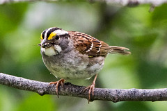 White-throated Sparrow, Gander Old Town Site (frank.king2014) Tags: whitethroatedsparrow