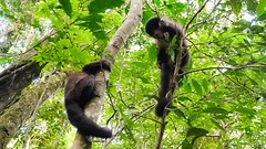 Capuchin Monkeys Playing in Iguazu National Park (sakhitasharma) Tags: travel latinamerica southamerica argentina animals photography wildlife iguazu iguazufalls travelphotography iguazunationalpark sakhitasharma