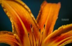 Hmrocalle Fauve / Orange Day-lily / hemerocallis fulva (www.yravaryphotoart.com) Tags: orange plant flower macro fleur closeup canon plante vegetale vgtation hemerocallisfulva hmrocalle orangedaylily hmrocallefauve canon7d canonef100mmf28lmacroisusm yravaryphotoart yravaryphotoartcom