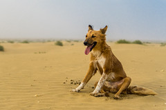 Thar Desert, Jaisalmer, India (DitchTheMap) Tags: ocean blue sea summer vacation dog pet india holiday cute beach dogs nature beautiful face yoga jack fun happy paw sand asia flickr russell hole action outdoor head digging dunes joy young prints cheerful dig jaisalmer rajasthan camelsafari thardesert