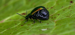Pregnant female Leaf-beetle (Gastrophysa viridula) (Richard W2008) Tags: cathkinmarshwildlifereserve scottishwildlifetrust scotland nature flora fauna