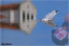 riflessi (Giorgio Finessi) Tags: bird water riflessi