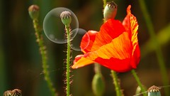 Variation sur le coquelicot (Yasmine Hens) Tags: red flower photoshop rouge europa flickr belgium sony ngc poppy coquelicot bulle namur hens yasmine wallonie iamflickr flickrunitedaward hensyasmine sonydscrx10m3