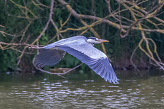 Heron Fleeing (andymulhearn) Tags: canon somerset apexpark flickrbirds eos7d2 sigma150600mmc