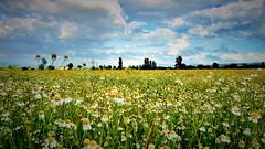 Fiori di camomilla (ghignonienzo) Tags: verde alberi nuvole erba cielo fiori azzurro