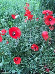 coquelicot rouge© (alexandrarougeron) Tags: végétal nature urbain ville extérieur vie coquelicot rouge beau sauvage vert herbe dehors