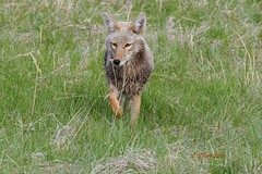 IMG_6780 coyote (starc283) Tags: coyote nature canon wildlife canine predator starc283