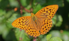 Silver Washed Fritillary 220716 (1) (Richard Collier - Wildlife and Travel Photography) Tags: naturalhistory wildlife insects butterflies macro closeup silverwashedfritillary