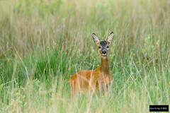 Roe Deer (Capreolus capreolus) (Dave 2x) Tags: capreoluscapreolus capreolus roedeer roe deer westernroedeer silvermeadows dubwath lakedistrict cumbria england uk leastconcern doe female