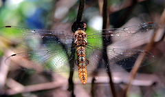 Spot-winged glider (TJ Gehling) Tags: insect odonata anisoptera dragonfly skimmer libellulidae glider gliderdragonfly spotwingedglider pantala pantalahymenaea canyontrailpark elcerrito