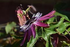 Passiflora Violacea (_pkm_photography) Tags: pkmphotography2016 dslr nikon d3300 passiflora