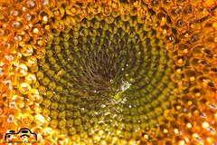 Sonnenblume (TH fotografie) Tags: sonnenblume sunflower nature makro macro makrofotografie canon tamron