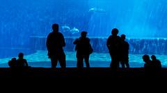 Acquario di Genova (fabio pagnini) Tags: acquariodigenova acquario silhouette delfini blu acqua vasca