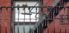 Doves on duty (Gordonlaurie) Tags: doves nyc fireescape grillwork rusty
