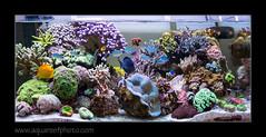 STETensemble7402_160616 (kactusficus) Tags: marine aquarium reef tank home coral clam benitier tridacna