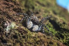 Jumping spider (Rom4rio Photography) Tags: nikon nikkor spider macro micro nature ragno salticidae animale paianjen arachnid arthropod allaperto salticid jumpingspider d3100 natura nikond3100 amatore amateur