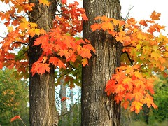 IMG_1308 early autumn color (jgagnon63@yahoo.com) Tags: fallcolor autumn maples deltacountymi upperpeninsula uppermichigan canonsl1 october tree leaves mapleleaves foliage fallfoliage orange mapletrees fall color