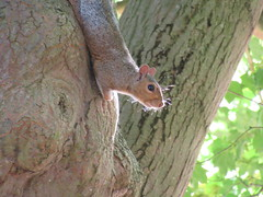 23/9/2016, 267/365, Grey squirrel IMG_7514 (tomylees) Tags: greysquirrel braintree essex project 365 september 2016 23rd friday