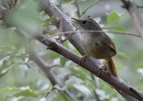 Rufous-tailed Babbler_16-06-05_Chrysomma poecilotis