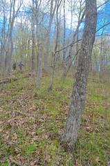 Forest (wackybadger) Tags: mvc wisconsinstatenaturalarea nikon eagleeyesna forest wisconsin nikond7000 tree vernoncounty nikon1855mmf3556gafsvr sna675 mississippivallyconservancy