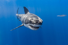 Smiling for the camera (George Probst) Tags: greatwhiteshark shark underwater diving blue fish mackerel whitepointer mexico wildlife baja isladeguadalupe smile teeth grin ocean pacific