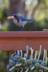 IMG_6275 (armadil) Tags: bird birds jay jays scrubjay scrubjays brusselssprout backyard