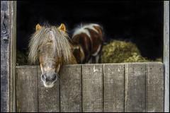 Wimpole Stables (Darwinsgift) Tags: wimpole estate stables shetland pony national trust cambridgeshire tone mapped voigtlander 58mm f14 nokton nikon d810 sl ii