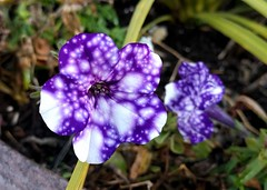 Cool petunia (Ruth and Dave) Tags: britanniabeach britanniaminingmuseum petunia spotted purple white flowerpot planter