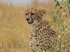 Focussed (Makgobokgobo) Tags: cheetah predator mammal masaimaranationalreserve masaimara mara kenya africa acinonyxjubatus acinonyx
