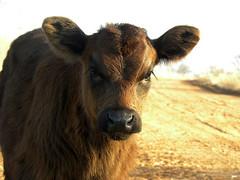 Eat More Chikin! (It Feels Like Rain) Tags: texas texasranches westtexas ranch ranches ranching calf dogie eatmorechikin