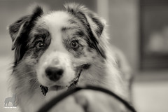 And now back to our regularly scheduled photos (Jasper's Human) Tags: australianshepherd aussie toy oddball tuffy