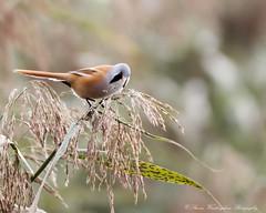 Bearded Tit (steven waddingham) Tags: tits bird wild nature rspb