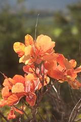 Turmann 2014 (luka116) Tags: automne schweiz switzerland suisse swiss svizzera arbre wallis octobre valais talus 2014 cotinuscoggygria turtmann coteaux arbustre getwing