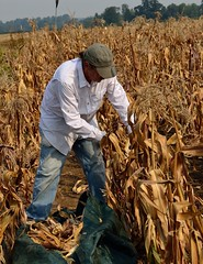 Picking 'Magic Manna' Flour Corn (caroldeppe) Tags: usa plant vegetables oregon garden photography corn gardening farming harvest vegetable breeding organic agriculture maize picking sustainable harvesting 2014 cornears flourcorn magicmanna caroldeppecom caroldeppe fertilevalleyseeds