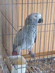 Grey parrot, caged. (cyclingshepherd) Tags: november bird portugal grey gray parrot caged algarve ilha olho 2014 greyparrot grayparrot culatra cyclingshepherd tz60